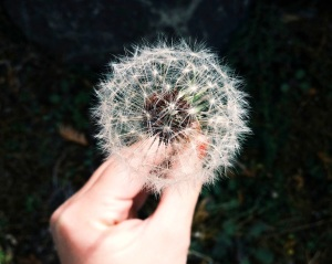 delicate dandelion